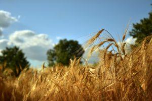cornfield-4306048_1920